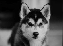 Husky sibérien pourquoi je peux l'adopter ?